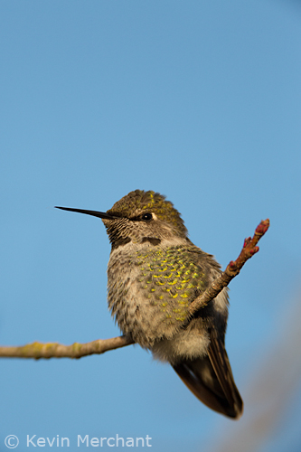 Female Anna's hummingbird