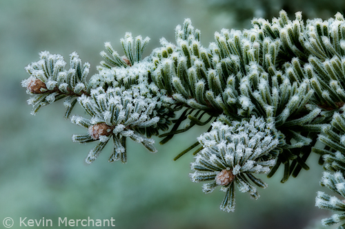 Ice crystals on fir needles