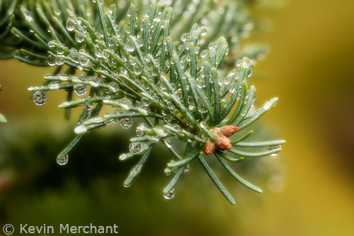 Rain drops on fir needles